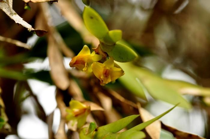 Dendrobium anceps