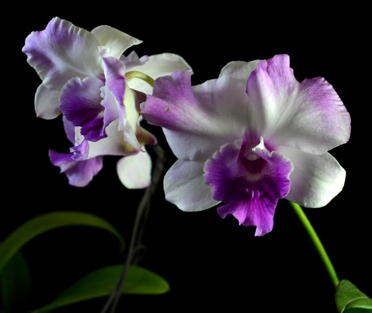 Dendrobium Anucha Flair