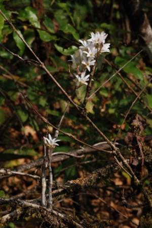 Dendrobium barbatulum