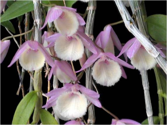 Dendrobium Aphyllum The Orchid Society Of Karnataka