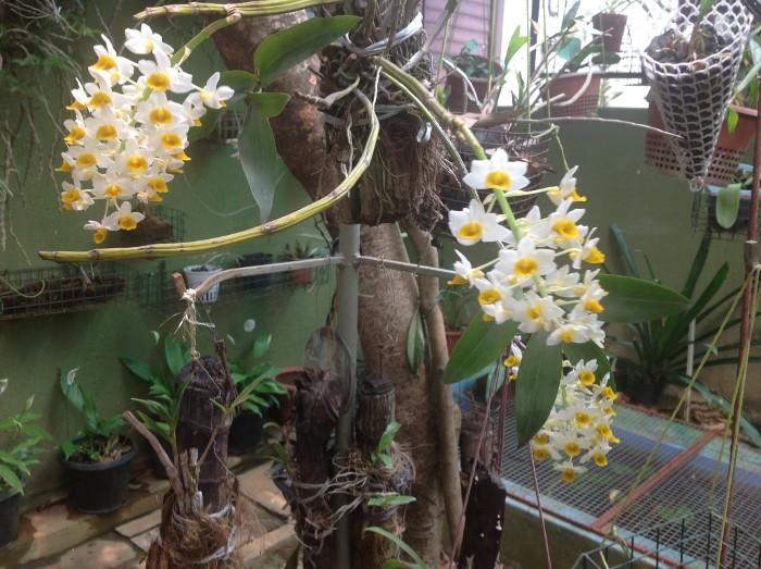 Dendrobium thyrsiflorum B.S.Williams