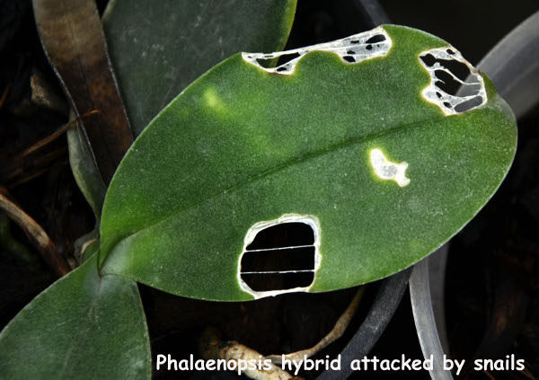 Phalaenopsis hybrid attacked by snails