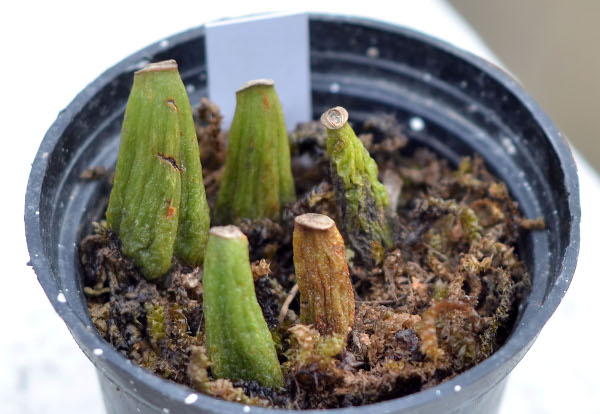 propagation of Bulbophyllum through back bulbs
