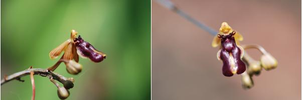Cottonia flower