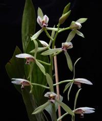 Cym_lancifolium
